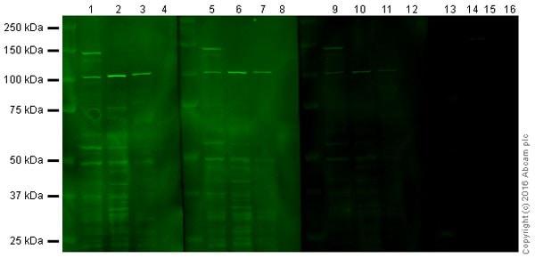 Western blot - Anti-eNOS antibody (ab5589)