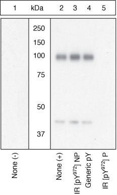 Western blot - Anti-Insulin Receptor (phospho Y972) antibody (ab5678)