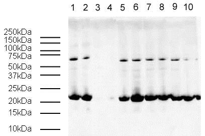 Western blot - Anti-Histone H3 (tri methyl K9, phospho S10) antibody - ChIP Grade (ab5819)