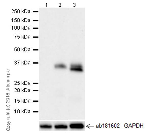 Western blot - Recombinant human TGF beta 1 protein (Full length) (ab50036)