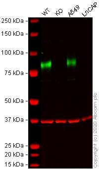 Western blot - Anti-CD44 antibody [EPR1013Y] (ab51037)