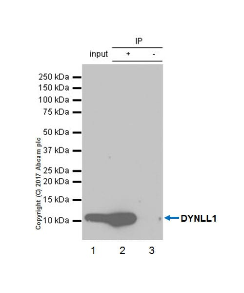 Immunoprecipitation - Anti-DYNLL1/PIN antibody [EP1660Y] (ab51603)