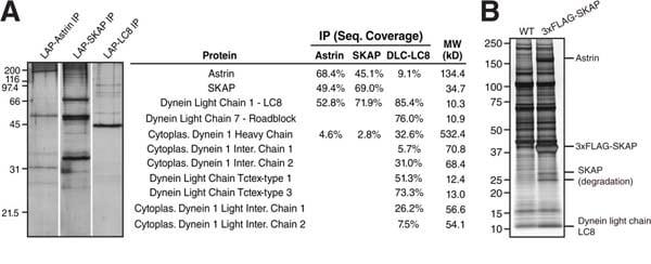 Immunoprecipitation - Anti-DYNLL1/PIN antibody [EP1660Y] (ab51603)