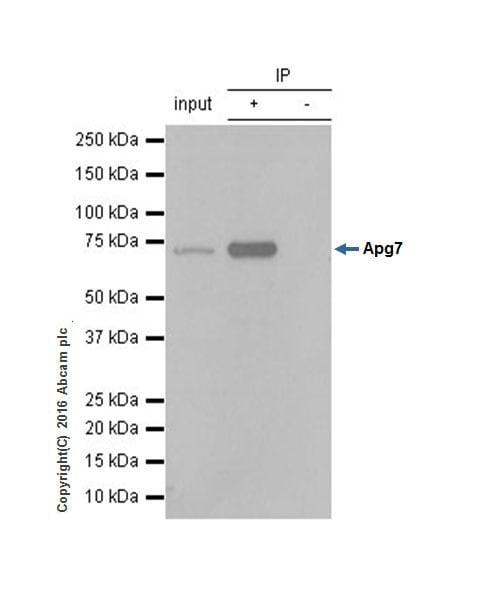 Immunoprecipitation - Anti-ATG7 antibody [EP1759Y] (ab52472)