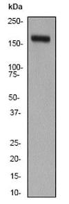 Western blot - Anti-CD11b antibody [EP1345Y] - C-terminal (ab52478)