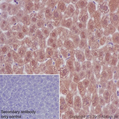 Immunohistochemistry (Formalin/PFA-fixed paraffin-embedded sections) - Anti-Lactate Dehydrogenase antibody [EP1566Y] (ab52488)