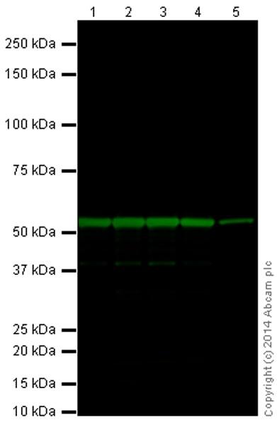 Western blot - Anti-beta III Tubulin antibody [EP1569Y] (ab52623)