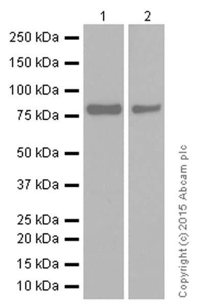 Western blot - Anti-Scavenging Receptor SR-BI antibody [EP1556Y] (ab52629)