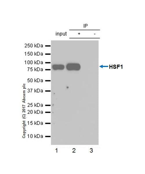 Immunoprecipitation - Anti-HSF1 antibody [EP1710Y] - ChIP Grade (ab52757)