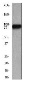 Western blot - Anti-HSF1 antibody [EP1710Y] - ChIP Grade (ab52757)