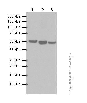 Western blot - Anti-alpha Tubulin antibody [EP1332Y] - Microtubule Marker (ab52866)
