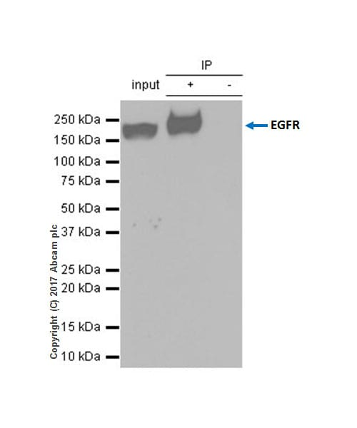 Immunoprecipitation - Anti-EGFR antibody [EP38Y] (ab52894)