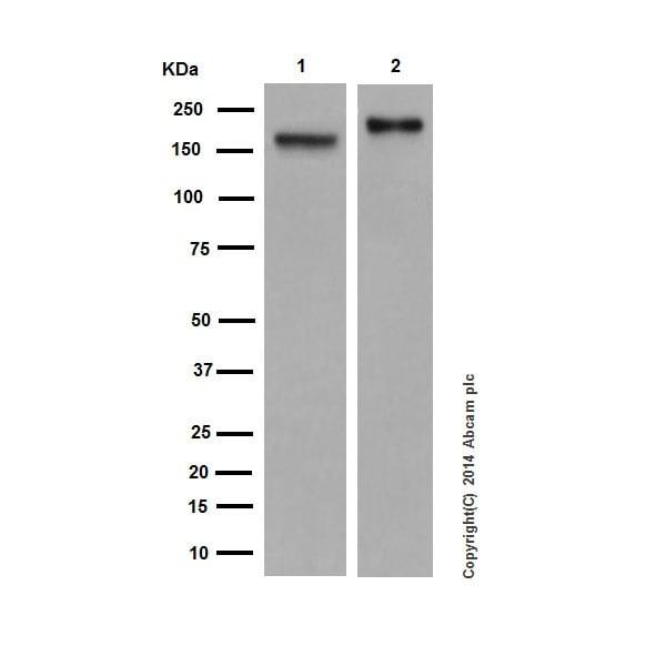 Western blot - Anti-CD11a antibody [EP1285Y] (ab52895)