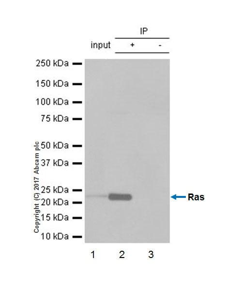 Immunoprecipitation - Anti-Ras antibody [EP1125Y] (ab52939)