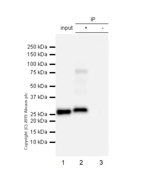 Immunoprecipitation - Anti-Apolipoprotein A I antibody [EP1368Y] (ab52945)