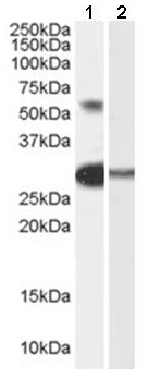Western blot - Anti-TCFL5 antibody (ab53546)