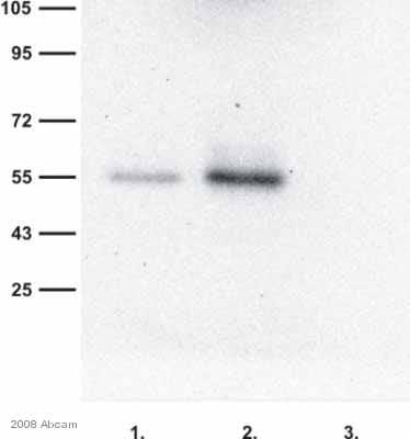 Immunoprecipitation - Anti-RAB27A antibody (ab55667)