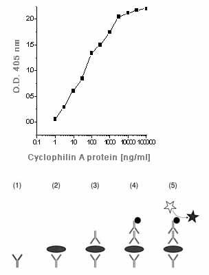 ELISA - Anti-Cyclophilin A antibody (ab58144)