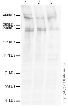 Western blot - Anti-RanBP2 antibody [mAbcam58385] (ab58385)