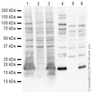 Western blot - Anti-Histone H3 (tri methyl K27) antibody [mAbcam 6002] - ChIP Grade (ab6002)