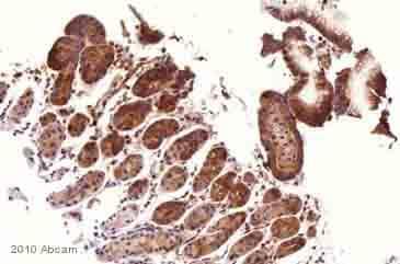 Immunohistochemistry (Frozen sections) - Anti-beta Tubulin antibody - Loading Control (ab6046)