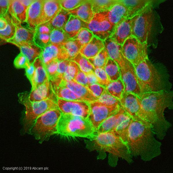 Immunocytochemistry/ Immunofluorescence - Anti-CD44 antibody [F10-44-2] (ab6124)
