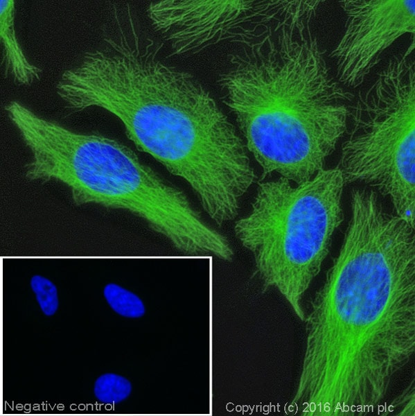 Immunocytochemistry/ Immunofluorescence - Anti-Tubulin antibody [YL1/2] - Loading Control (ab6160)