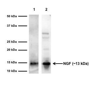 Western blot - Anti-NGF antibody (ab6199)