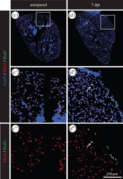 Immunohistochemistry (Frozen sections) - Anti-BrdU antibody [BU1/75 (ICR1)] - Proliferation Marker (ab6326)
