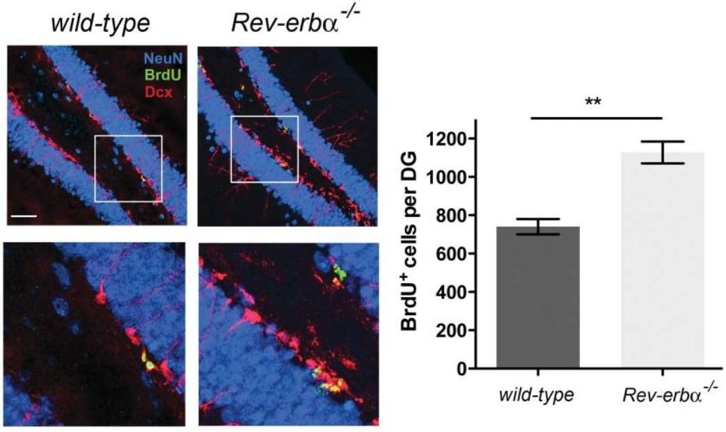Immunohistochemistry - Free Floating - Anti-BrdU antibody [BU1/75 (ICR1)] (ab6326)