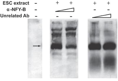 Electrophoretic Mobility Shift Assay - Anti-NFYB/CBF-B antibody (ab6559)