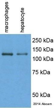 Western blot - Anti-F4/80 antibody [CI:A3-1] - Macrophage Marker (ab6640)