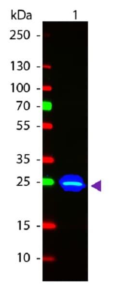Western blot - Anti-GFP antibody (FITC) (ab6662)