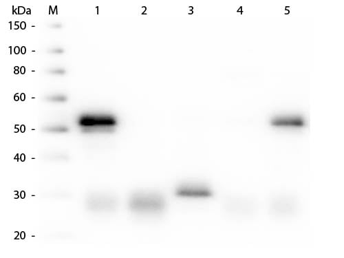Western blot - Donkey Anti-Rabbit IgG H&L (HRP) (ab6802)