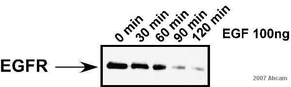 Western blot - Donkey Anti-Sheep IgG H&L (HRP) (ab6900)