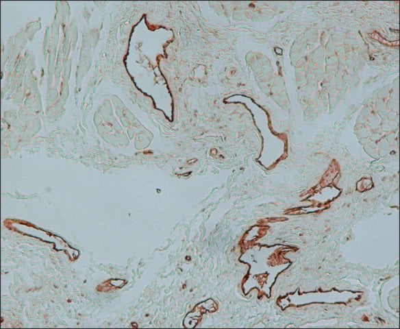 Immunohistochemistry (Formalin/PFA-fixed paraffin-embedded sections) - Anti-Von Willebrand Factor antibody (ab6994)