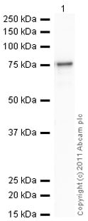 Western blot - Recombinant human GSK3 beta protein (Active) (ab60863)