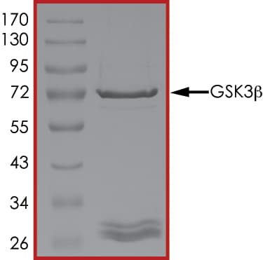 SDS-PAGE - Recombinant human GSK3 beta protein (Active) (ab60863)