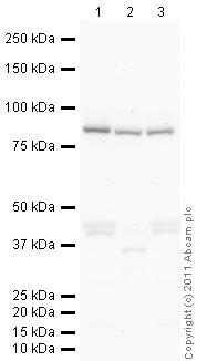 Western blot - Anti-Frizzled 7 antibody (ab64636)