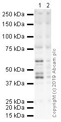 Western blot - Anti-PAI1 antibody (ab66705)