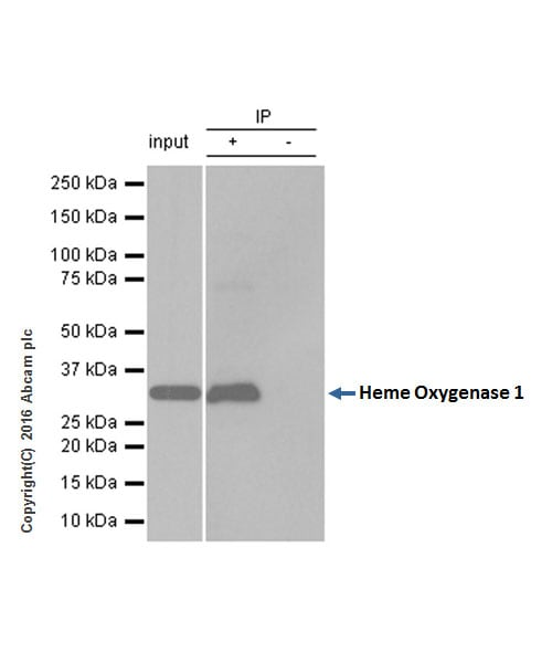 Immunoprecipitation - Anti-Heme Oxygenase 1 antibody [EPR1390Y] (ab68477)