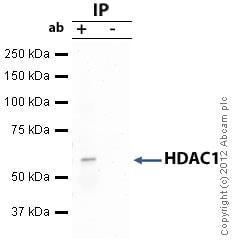 Immunoprecipitation - Anti-HDAC1 antibody - ChIP Grade (ab7028)