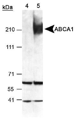 Western blot - Anti-ABCA1 antibody (ab7360)