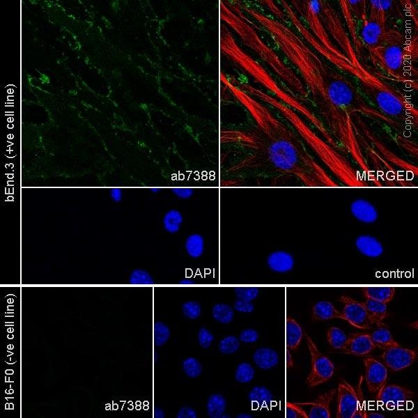 Immunocytochemistry - Anti-CD31 antibody [MEC 7.46] (ab7388)