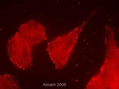 Immunocytochemistry/ Immunofluorescence - Anti-CD13 antibody [WM15] (ab7417)