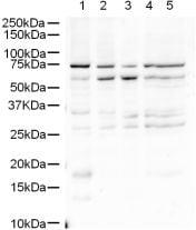 Western blot - Anti-Sprouty 4/Spry-4 antibody (ab7513)