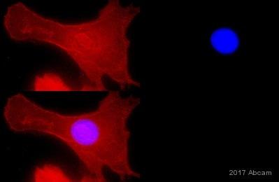 Immunocytochemistry/ Immunofluorescence - Anti-alpha 1 Sodium Potassium ATPase antibody [464.6] (ab7671)