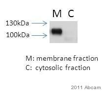 Western blot - Anti-alpha 1 Sodium Potassium ATPase antibody [464.6] (ab7671)