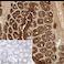Immunohistochemistry (Frozen sections) - Anti-pan Cytokeratin antibody [C-11] (ab7753)