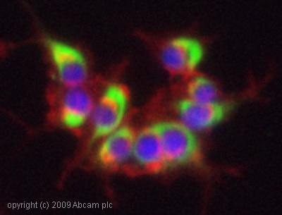 Immunocytochemistry - Anti-160 kD Neurofilament Medium antibody [NF-09] - Neuronal Marker (ab7794)